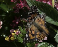 CommonBuckeye_SAF2600-1 (sara97) Tags: junoniacoenia buckeye butterfly commonbuckeye copyright©2017saraannefinke endangered insect missouri outdoors photobysaraannefinke pollinator saintlouis towergrovepark