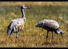 Sandhill Crane / Antigone canadensis (ctofcsco) Tags: 11000 20x 2x 7d 7dclassic 7dmark1 7dmarki 800mm canon colorado didnotfire digital ef2x ef2xii ef400mmf28liiusm20x eos eos7d esplora explore 2017 alamosa birds cranes explored geo:lat=3745997671 geo:lon=10614014486 geotagged image landscape migration montevista montevistanwr nationalwildliferefuge nature northamerica photograph picture sanluisvalley sandhillcrane sandhillcranefestival spring wildlife wwwmvcranefestorg zinzer extender f63 flashoff iso125 photo pic pretty renown shutterspeedpriorityae spot supertelephoto teleconverter telephoto unitedstates usa animal bird
