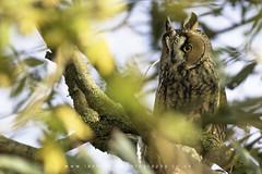 LEO (Ian Hufton Photography - Landscape & Wildlife) Tags: longearedowl leo owl kent wild bird
