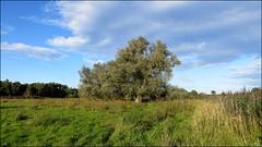 WILLOW GRAZING MARSH (Norfolkboy1) Tags: england norfolk dilhamhallfarm grazingmarsh willowtrees