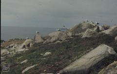 Silene and bracken in gull colony. Samson Island, 1973 (Mary Gillham Archive Project) Tags: 1973 22628 england island landscape planttree sv8712 samson scillyisles seacampion sileneuniflora unitedkingdom gb