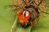 Oruga (Wilmer Quiceno) Tags: oruga gusano macro sanantoniodeprado eos70d macrofotografía insecto animal
