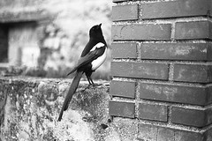 Magpie. (AloysiaVanTodd) Tags: nature natural light sunlight home analog kodak film negativefilm kodakfilm 400asa argentique autumn fall blackandwhite sombre dark noiretblanc animal bird magpie pie portrait