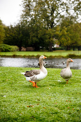 IMG_3210 (TvdMost) Tags: gans geese huysclingendael landgoedclingendael