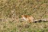 Petite pause pendant la chasse (quercyanimalier) Tags: redfox renardroux