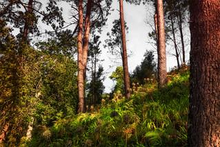 Madeira Wald