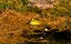 _U7A6559 (rpealit) Tags: scenery wildlife nature east hatchery alumni field hackettstown bullfrog