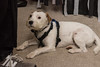 Hallowe'en (ghostwheel_in_shadow) Tags: england englandandwales europe herefordshire unitedkingdom weobley wiggo dog halloween jackrussell mammal parsonrussell terrier gb