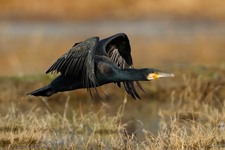cormorano-b