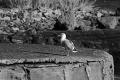 Seagull Bits Black and White (mcdowall.mark) Tags: seagull black white dunure harbour ayrshire scotland canon 80d