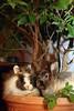 IMG_3851 (Protty coniglio nano) Tags: coniglio conigli castoro protty coniglietto coniglionano