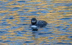 Common Loon (nickinthegarden) Tags: commonloon lakeofthewoods hopebccanada