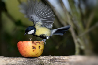 Great Tit Apple Series No 12