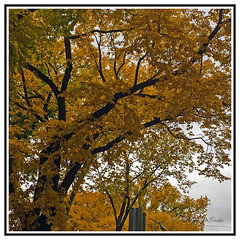 The Autumn Leaves -  Natures Golden Beauty Revealed. (Bill E2011) Tags: nature trees leaves colour color gold autumn fall beauty spectacular