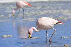 Bolivia flamingos (geraldineh.dutilly) Tags: