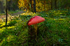 Amanita muscaria - muchomor czerwony (ChemiQ81) Tags: 2017 polska poland polen polish polsko chemiq польша poljska polonia lengyelországban польща polanya polija lenkija ポーランド pólland pholainn פולין πολωνία pologne puola poola pollando 波兰 полша польшча forest las grzyb mushroom macro amanita muscaria muchomor czerwony grass autumn jesień