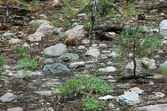 Volcanic debris flow deposit (upper Holocene, May 1915; Devastated Area, Lassen Volcano National Park, California, USA) 24 (James St. John) Tags: devastated area volcanic debris flow deposit 1915 mt lassen peak volcano national park california cascade range