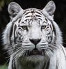 (patator70) Tags: zoo mammifère animal tigreblanc whitetiger