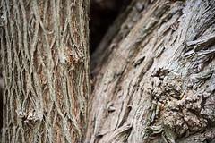 G03_Thiele and Vile_Bark of tree G03_6842.jpg (ImaginingsLifeImages) Tags: community plants australia bark gardenweekend myrtales northerntablelands nativegarden 2017 tree eucalypteae events places myrtaceae church nature flower magnoliophyta braundst gumtree phanerogamae flowering garden magnolopsida plant angiospermae macro flora dicot eudicot plantae life nsw myrtoideae armidale eucalyptus newengland armidaleregion