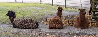 Moping lamas