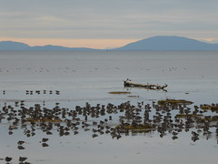 Boundary Bay (misiekmintus) Tags: nature natur naturaleza northwest pacificnorthwest vancouver bc britishcolumbia canada aves ptaki birds birding birdwatching bird