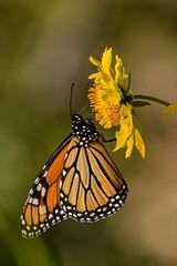 Back to Butterflies 3 (brev99) Tags: tamron70300vc butterfly nature d610 photoshopelements12 dxooptics9 cacorrection closeup yellowflower bokeh nikoutputsharpener