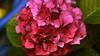 hortensia rosa (vitofonte) Tags: hortensia hydrangea hortensiamacrophylla hortensien flor flower naturaleza nature natura natureza ribadeo galicia vitofonte ngc npc