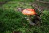 Fliegenpilz (Amanita muscaria) (blumenbiene) Tags: fliegenpilz amanita muscaria fly agaric pilz pilze mushroom shrooms mushrooms fliegenpilze wald wood forst herbst autumn