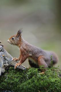 Eekhoorn_Red Squirrel_Sciurus Vulgaris_Marcelloromeo_11952