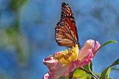 Male Monarch (Jim Atkins Sr) Tags: monarch monarchbutterfly danausplexippus camelliasasanqua camelliasasanquaappleblossom camellia closeup macro olympuspenepm2 olympus newbern northcarolina insect flower garden