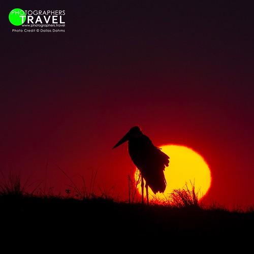 Marabou Stork - Chobe 2014