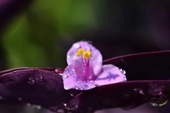 Delicato (vinceborda) Tags: fiori macro botanica