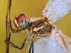 ojo y gotitas (Santi BF) Tags: sympetrumfonscolombii sympetrum libélula libèl·lula dragonfly odonata odonato bicho bug anisóptero