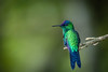 Beija-flor-de-fronte-violeta - Violet-capped Woodnymph (Thalurania glaucopis) (Eden Fontes) Tags: riodejaneiro aves birds thaluraniaglaucopis beijaflordefrontevioleta rj jbrj jardimbotânico violetcappedwoodnymph