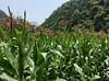 Valley Cornfield (cowyeow) Tags: landscape mountain farm shennongjia shennongjiaforestrydistrict hubei composition farmers asia asian china chinese corn mountains
