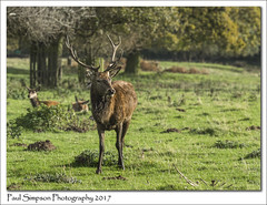 Red Deer (Paul Simpson Photography) Tags: deer nature reddeer stag sonya77 naturalworld photosof photoof imagesof imageof normanbypark scunthorpe lincolnshire uk england animal mammal stags antlers grass naturephotos naturephotography october 2017 autumn