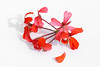 rouge (rondoudou87) Tags: pentax k1 flower fleur rouge red highkey couleur color closer close macro white blanc light lumière