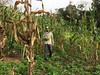 Harvesting Corn (yago1.com) Tags: permatree farmlife ecuador permaculture southamerica organic