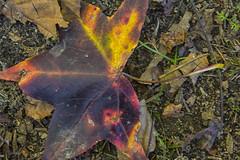 The Multi-Color Leaf (Thomas Vasas Photography) Tags: nature leaves leaf sticks fall colors purple red yelllow coopercreekpark columbus georgia