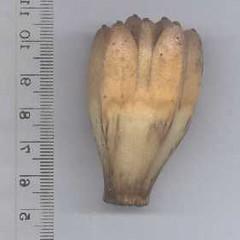 pandanus.tectorius.phalange (dave.kimble) Tags: pandanustectorius pandanaceae arfp qrfp nswrfp tropicalarf littoralarf subtropicalarf arffsbrownarffs