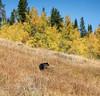 autumn GRIZZLY (laura's POV) Tags: grizzlybear bear animal autumn fall seasons aspens sky hill tetons gtnp grandtetonnationalpark nationalpark jacksonhole wyoming wildlife landscape wander amazing