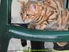 gio_k2_2017_08_349 (giordano torretta alias giokappadue) Tags: abetone bengala gastone gatto kat