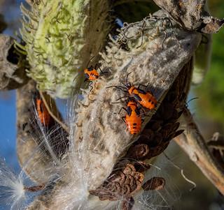 Milkweed - pods, seeds, bugs