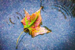 Autumn leaf fallen in the rain puddle