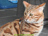 gio_k2_2017_08_369 (giordano torretta alias giokappadue) Tags: abetone bengala gastone gatto kat