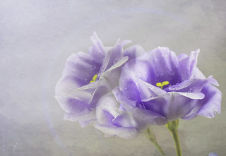 Blue lisianthus - the prairie gentian