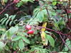 Prickly Wild Rose (Rosa acicularis)(Rose Hips) (Gerald (Wayne) Prout) Tags: pricklywildrose rosaacicularis plantae angiosperms eudicots rosids rosales rosaceae rosa aricularis rose rosehips watabeagroad blackrivermatheson northeastern northernontario ontario canada prout geraldwayneprout canon canonpowershotsx60hs powershot sx60 hs digital camera photographed photography prickly wild hips plants plant shrub bush watabeag road blackriver matheson nature flora wildflowers vitaminc tea edible districtoftimiskaming timiskaming
