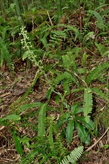 Habenaria alishanensis 樂氏玉鳳蘭