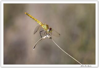 Diagonal con libélula hembra......