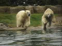 IJsberen Todz & Sizzel. (Loekje19) Tags: ijsberen sizzel todz